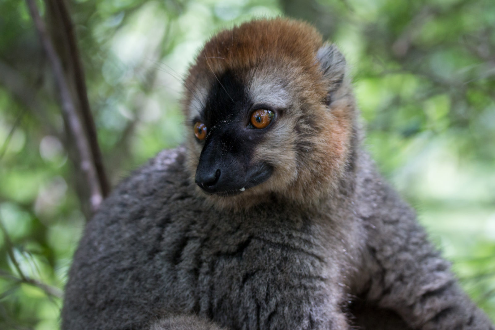Red-fronted brown lemur | Photo: Ben Honey